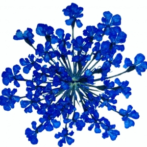 Bloemen - Geperste Queen Anne Lace - Donker Blauw (3 stuks)